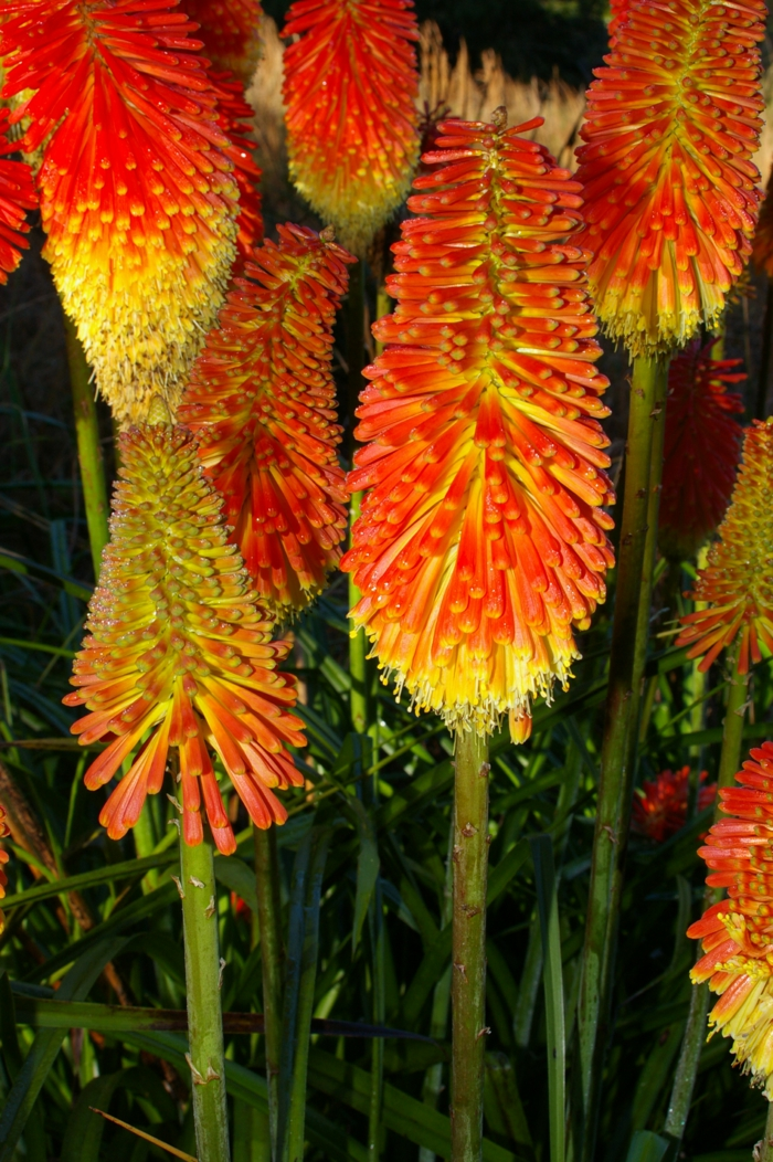 sommerblumen Fackellilie ausgefallene gartenpflanzen gartenideen