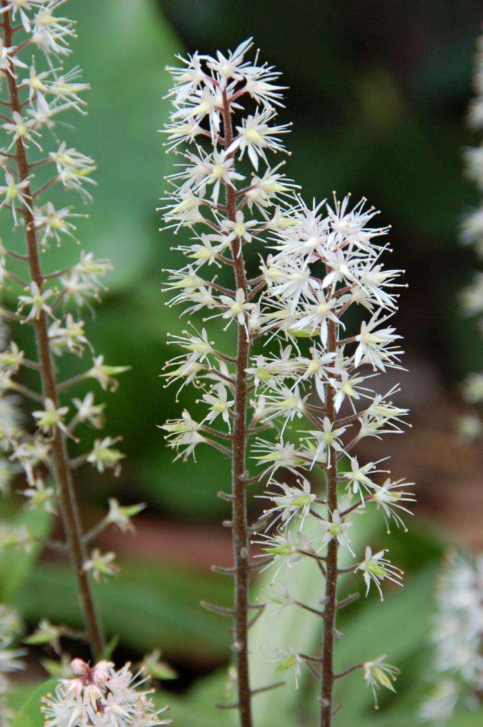 sommerblumen garten Schaumblüte gartenideen sommer