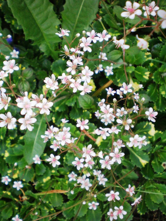 sommerblumen garten gestalten sommer Porzellanblümchen