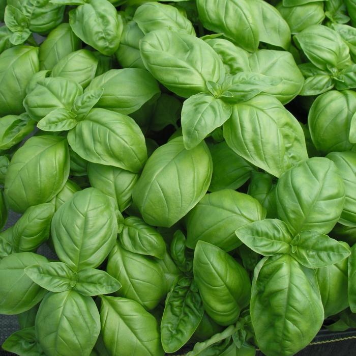 Pflanzen gegen Mücken heilpflanzen kreuzworträtsel basilikum