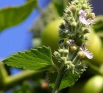 8 bekannte Heilpflanzen, die Mücken vertreiben