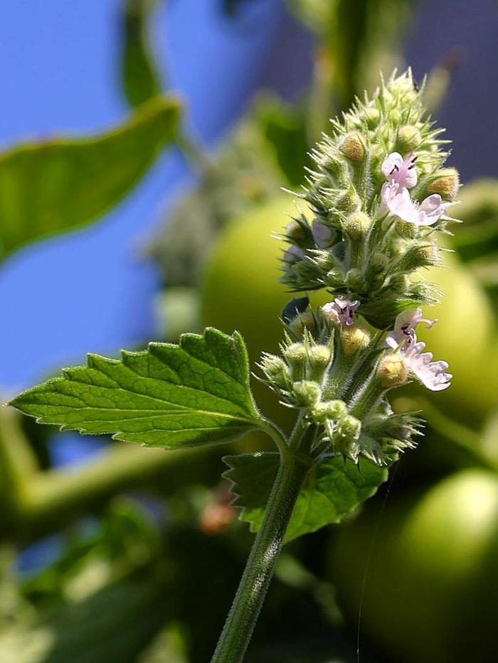 Pflanzen gegen Mücken heilpflanzen kreuzworträtsel katzenminze blüte