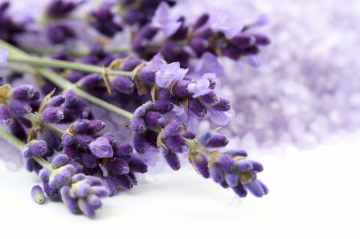 Pflanzen gegen Mücken heilpflanzen kreuzworträtsel lavendel minz