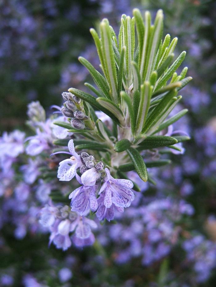 Pflanzen gegen Mücken heilpflanzen kreuzworträtsel rosmarin blatt trocknen2