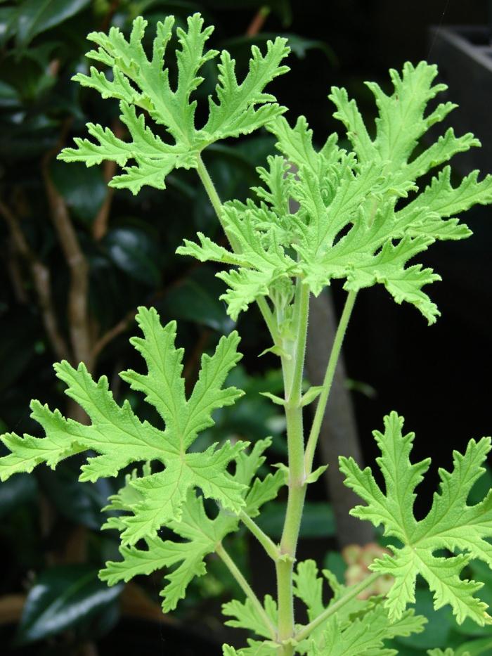 Pflanzen gegen Mücken heilpflanzen kreuzworträtsel zitronen geranie am fenster