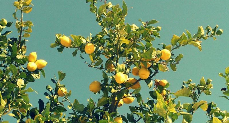 Wasser mit Zitrone trinken gesunde Lebensweise Zitronenbaum