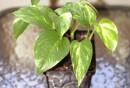 feng-shui-pflanzen-Epipremnum-aureum-blumentopf