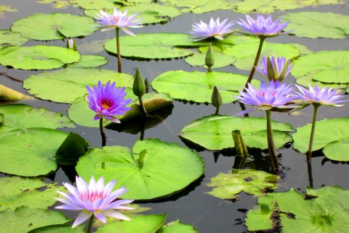 gartengestaltung ideen gartenteich anlegen wasserrosen lotus