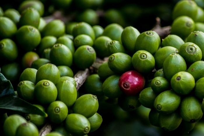 grüner kaffee gesund abnehmen kaffeestrauch grüne bohnen