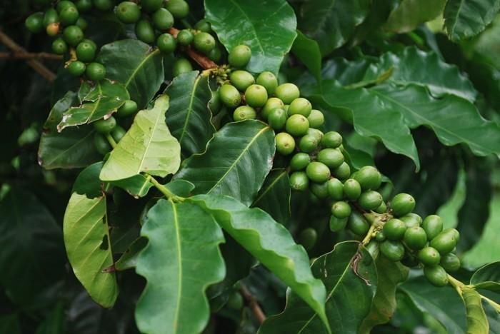 grüner kaffee gesund abnehmen srrauch früchte