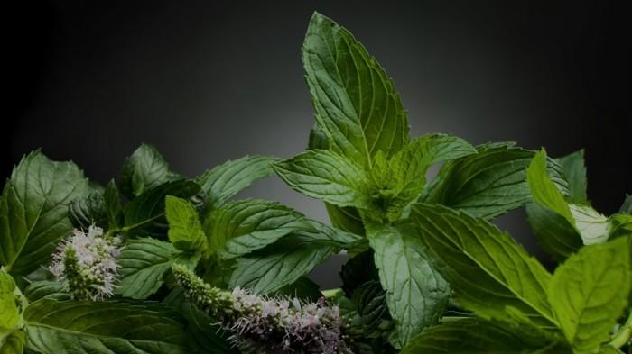 heilkräuter kaufen heilpflanzen gewürz lebe gesund kräuter pflanzen minze