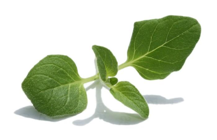 heilkräuter kaufen heilpflanzen gewürz lebe gesund kräuter pflanzen oregano