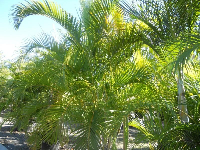 pflegeleichte Zimmerpflanzen Areca Palmen Hauspflanzen Palmenarten