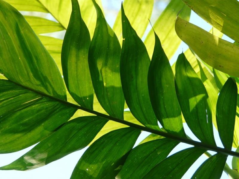 pflegeleichte Zimmerpflanzen Bergpalme Bambuspalme Hauspflanzen