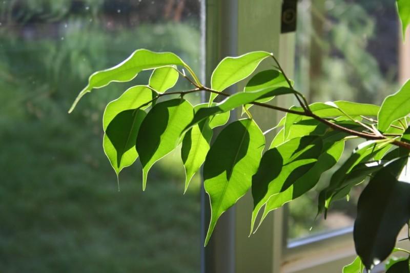 pflegeleichte Zimmerpflanzen Birkenfeige Hauspflanzen