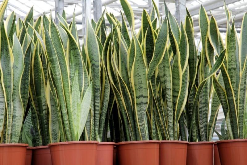 pflegeleichte Zimmerpflanzen Bogenhanf Hauspflanzen