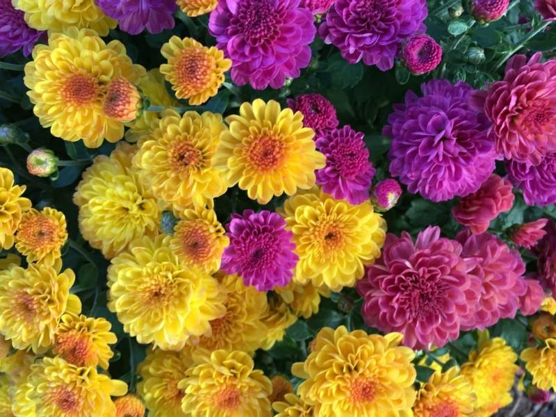 pflegeleichte Zimmerpflanzen Chrysanthemen Hauspflanzen