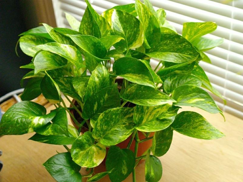 pflegeleichte Zimmerpflanzen Efeutute Hauspflanzen