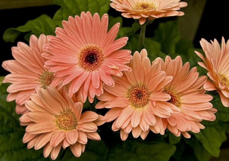 pflegeleichte Zimmerpflanzen Gerbera Hauspflanzen