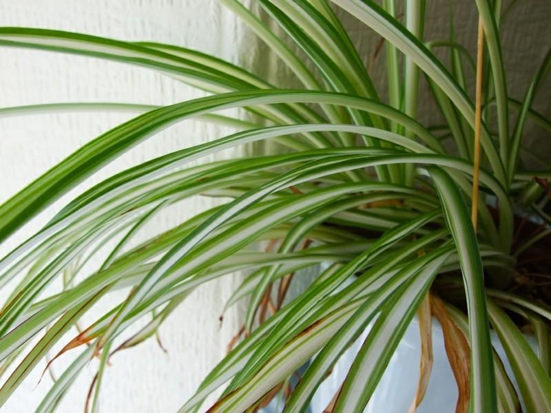 pflegeleichte Zimmerpflanzen Grünlilie Hauspflanzen