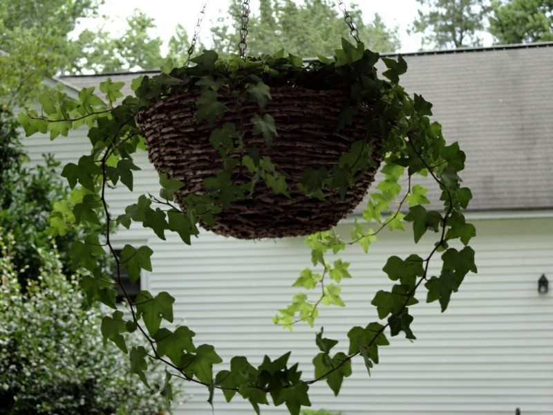Pflegeleichte zimmerpflanzen die die luft reinigen - Efeu zimmerpflanze giftig ...