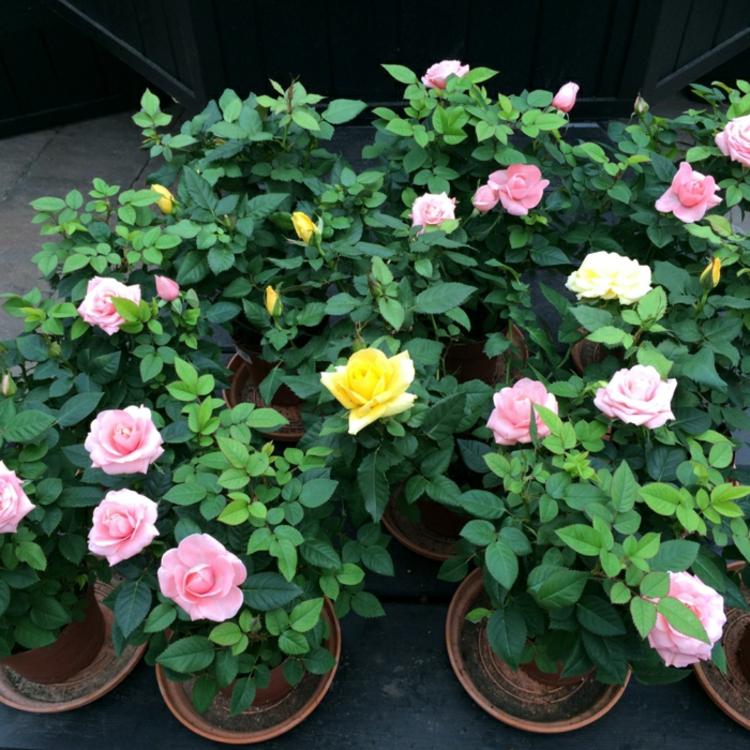 rosen pflanzen zimmerpflanzen bilder pflanzen ideen