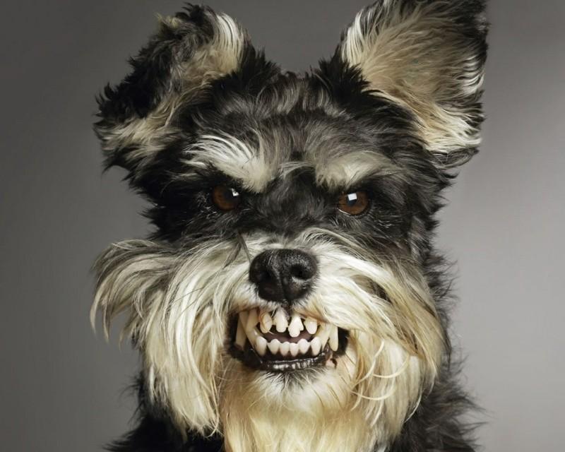 Angst vor Hunden Haustiere Hunderassen böser Hund
