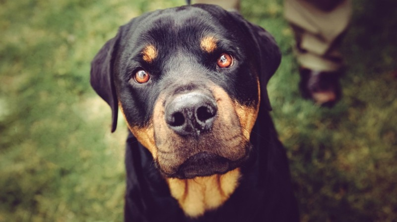 Angst vor Hunden böse Haustiere Hunderassen