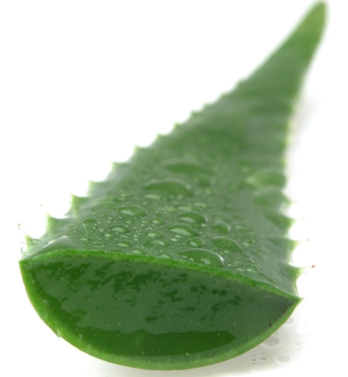 aloe vera pflanze stück gel abgeschnitten