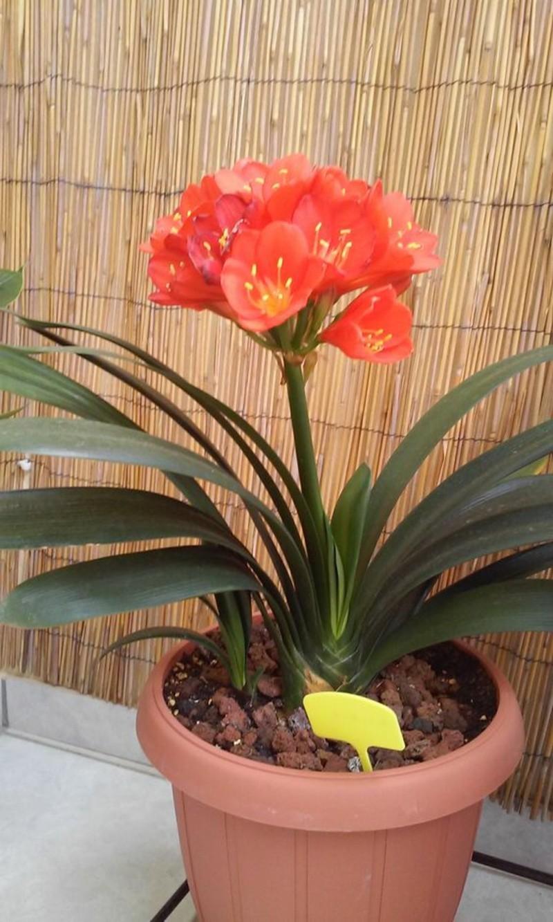 giftige Zimmerpflanzen Clivia miniata Riemenblatt