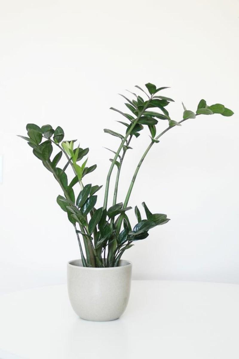 giftige Zimmerpflanzen Glücksfeder Topfpflanzen