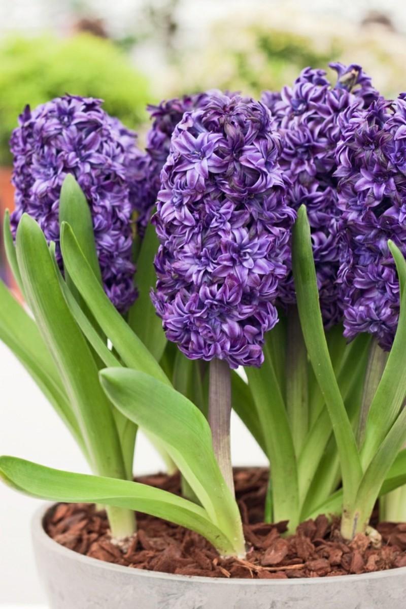 giftige Zimmerpflanzen Hyacinthus orientalis Hyazinthen