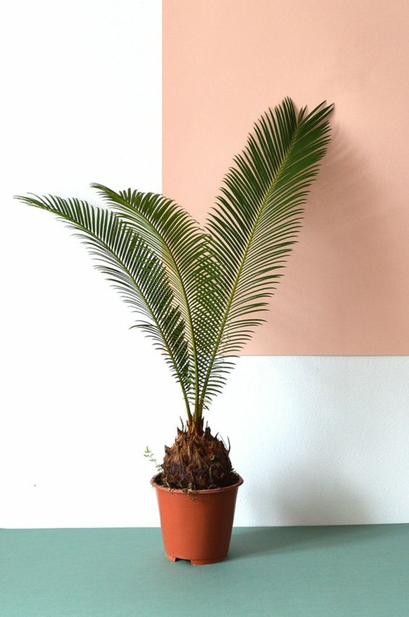 giftige Zimmerpflanzen Palmenarten Sagopalme
