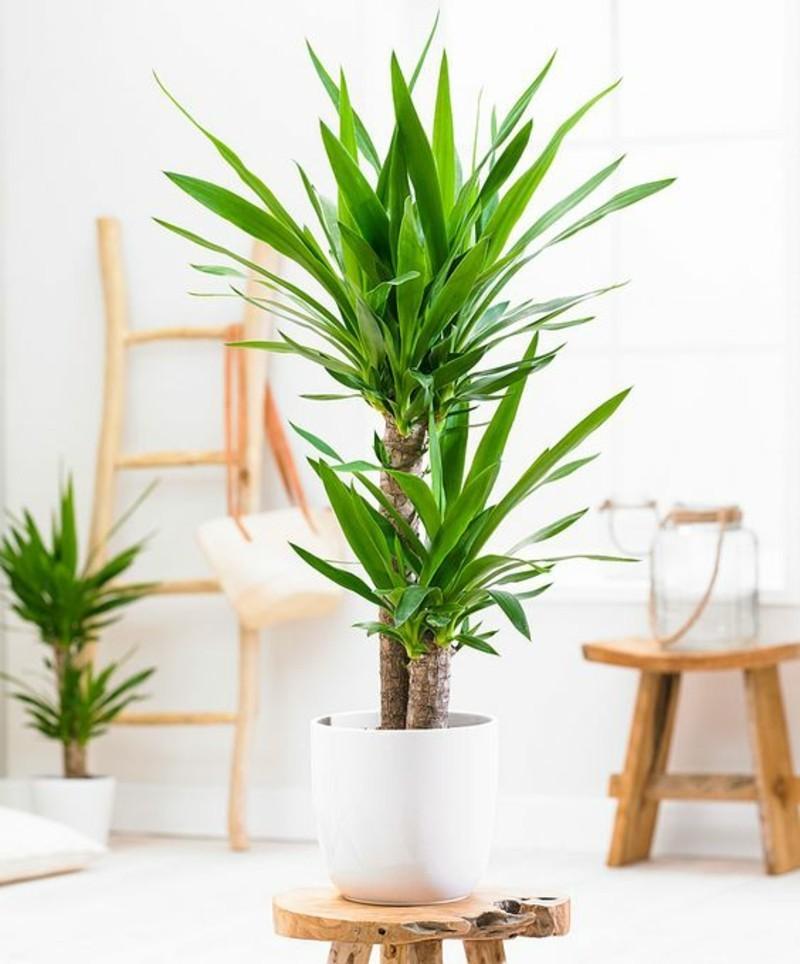 Giftige zimmerpflanzen 20 giftpflanzen die sie kennen for Zimmer yucca palme bluht