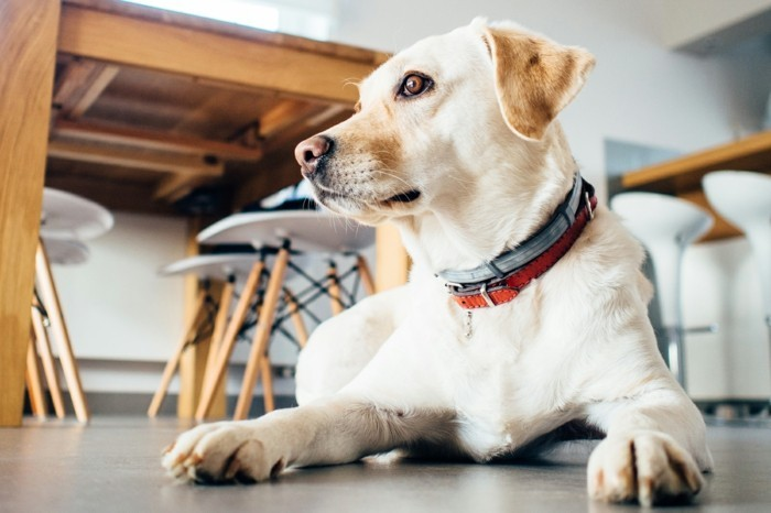 haustiere kaufen hunderassen zuhause