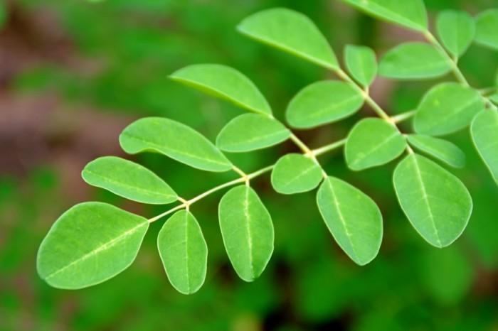 moringa blätter antioxidantien nährstoffe gesund