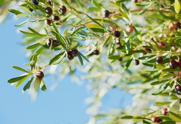 olivenoel gesund lebe gesund titel oliven