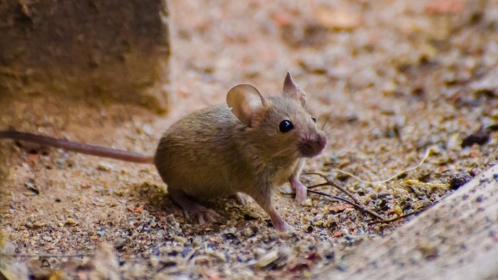 schädlingsbekämpfung mäuse fangen biozide