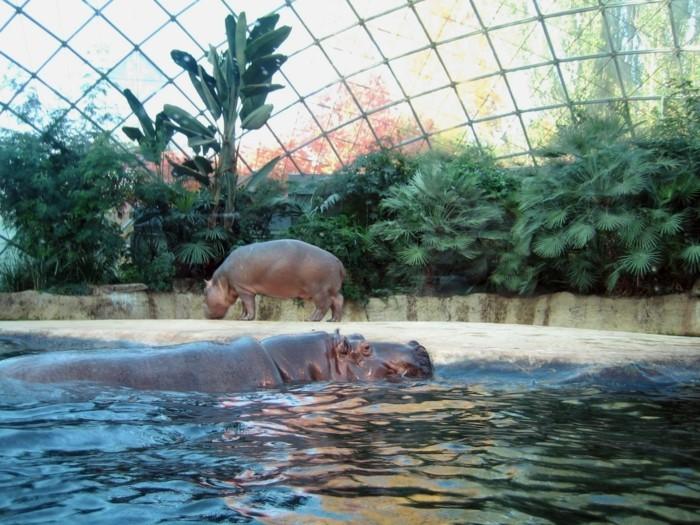 weltreise planen berliner zoo zoologischer garten hippos