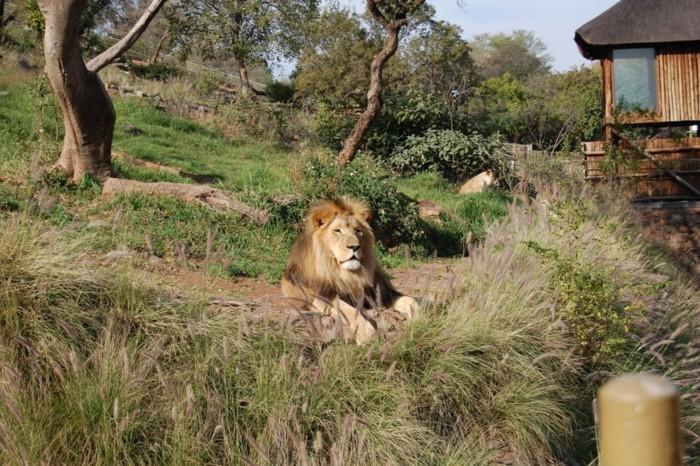 weltreise planen pretoria zoo südafrika löwe