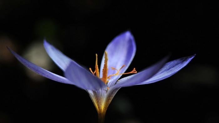 safran gewürz heilkräuter lebe gesund safran blüte