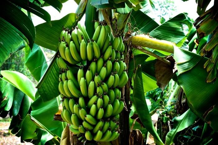 banane naehrwerte bananabaum