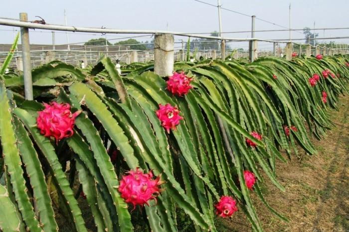Drachenfrucht Gesundheit Antioxidant Sorten Farm