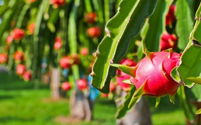Drachenfrucht Gesundheit Antioxidant Sorten Kakteen Familie baum