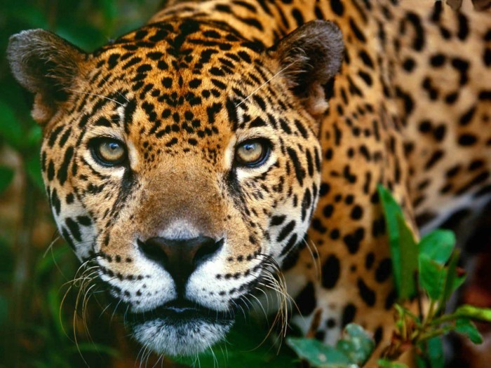 amazonas regenwald tiger