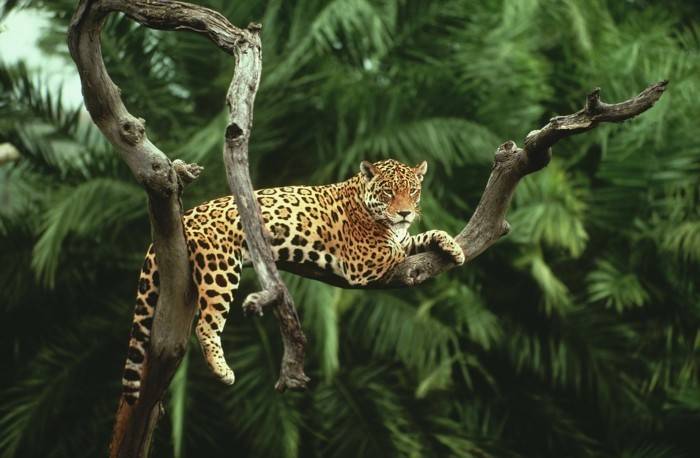 amazonas regenwald jaguar