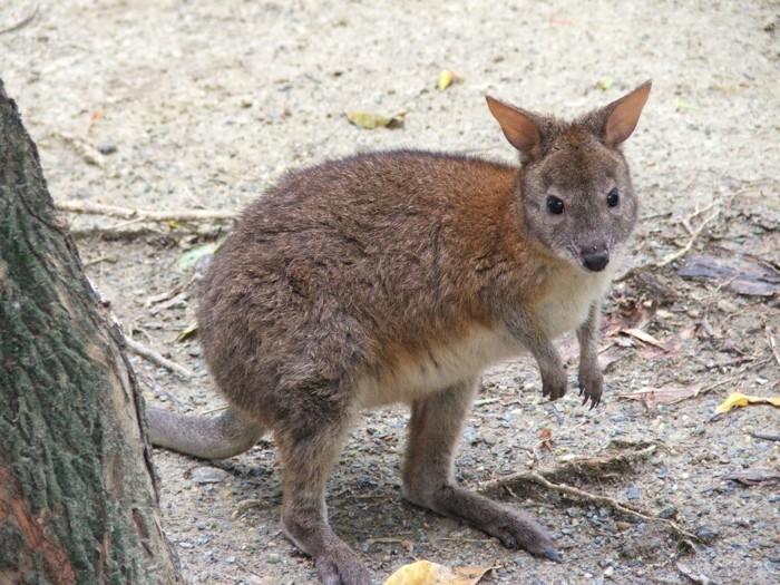 Außergewöhnliche Haustiere känguru