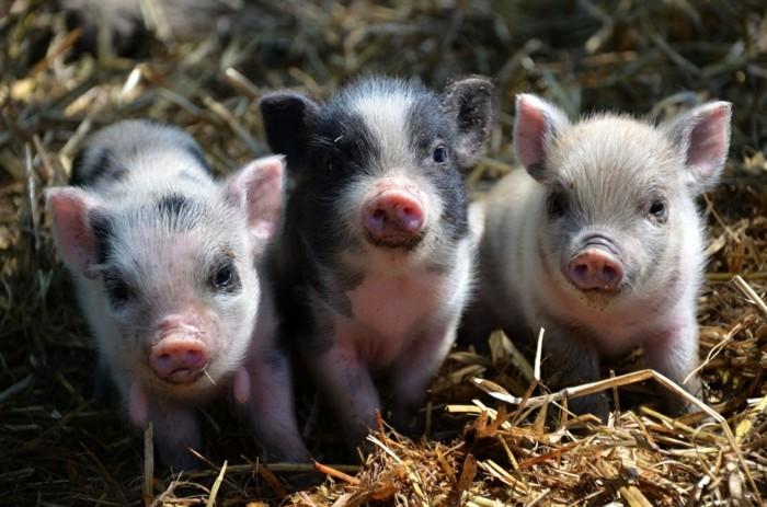 aussergewohnliche haustiere minischweine