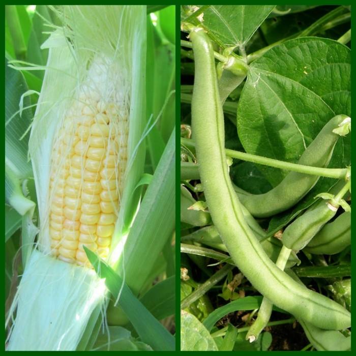 biogarten mais bohnen