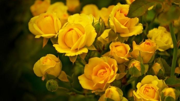gelbe rosen blumen